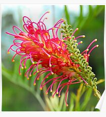 Grevillea Pinky Poster