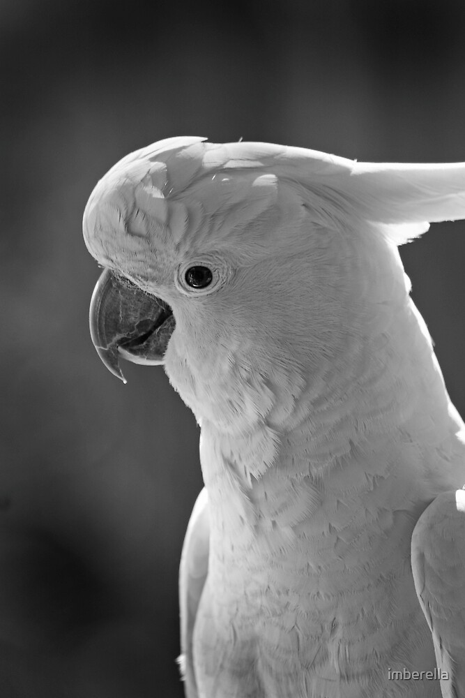 Sulfur Crested Cockatoo  by imberella