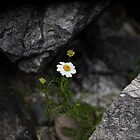 Wild Chamomile by RedGrouse