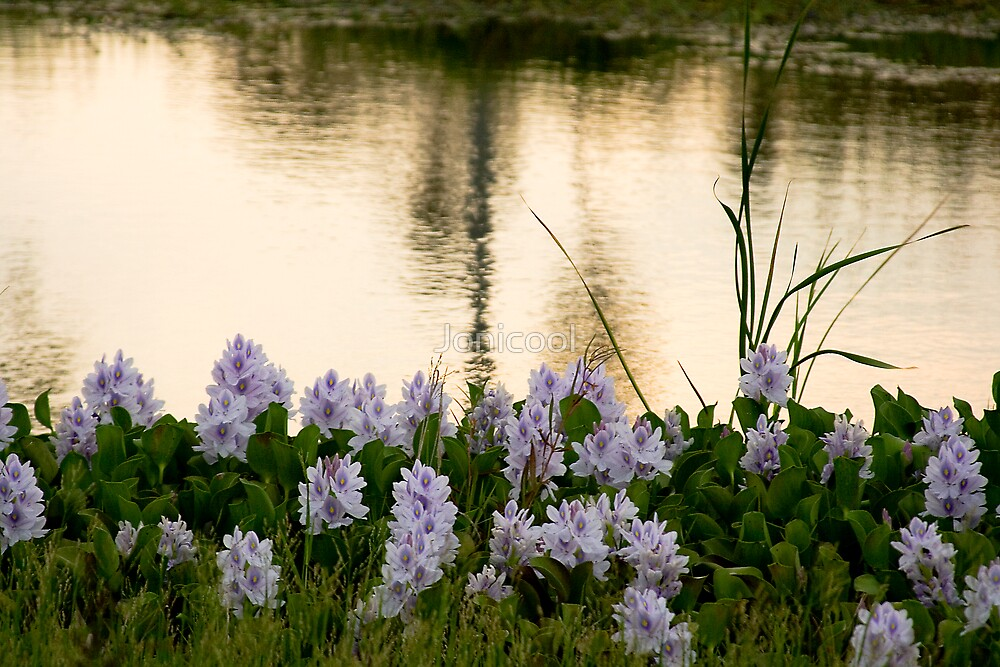 Water Hyacinth by Jonicool
