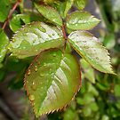 Rose Leaves With Raindrops by 1greenthumb