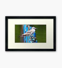 Cuban Seagull (Cuba) Framed Print