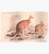 Vintage Kangaroo Family Illustration (1849) Poster