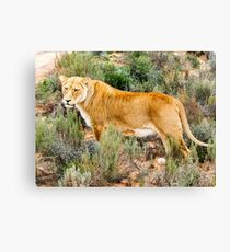 Lioness South Africa Canvas Print
