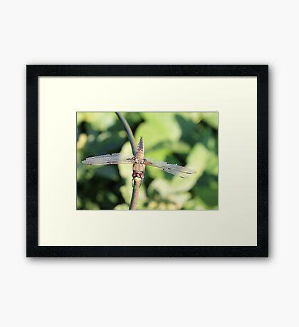 Damaged Dragonfly Framed Print