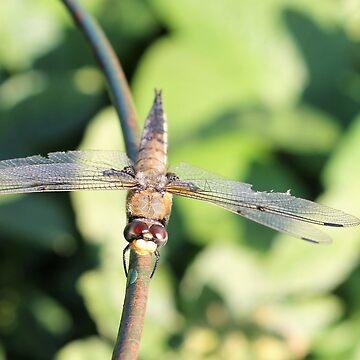 Damaged Dragonfly by stephenralph
