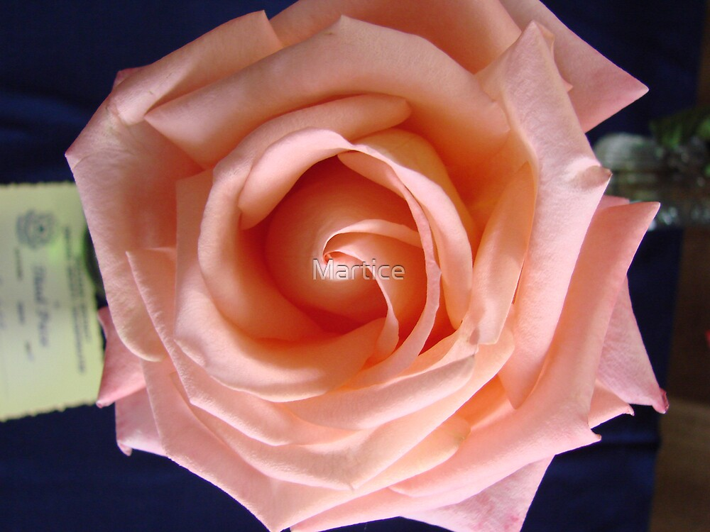 Pretty Light Pink Rose Petals by Martice