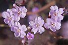Wildflower at Robe by Graeme  Hyde