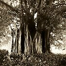 Fig Tree, Botanical Gardens, Melbourne by Roz McQuillan