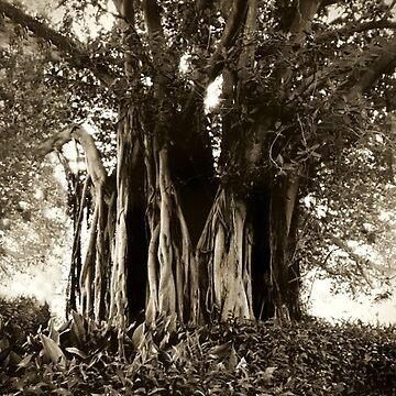 Fig Tree, Botanical Gardens, Melbourne by rozmcq