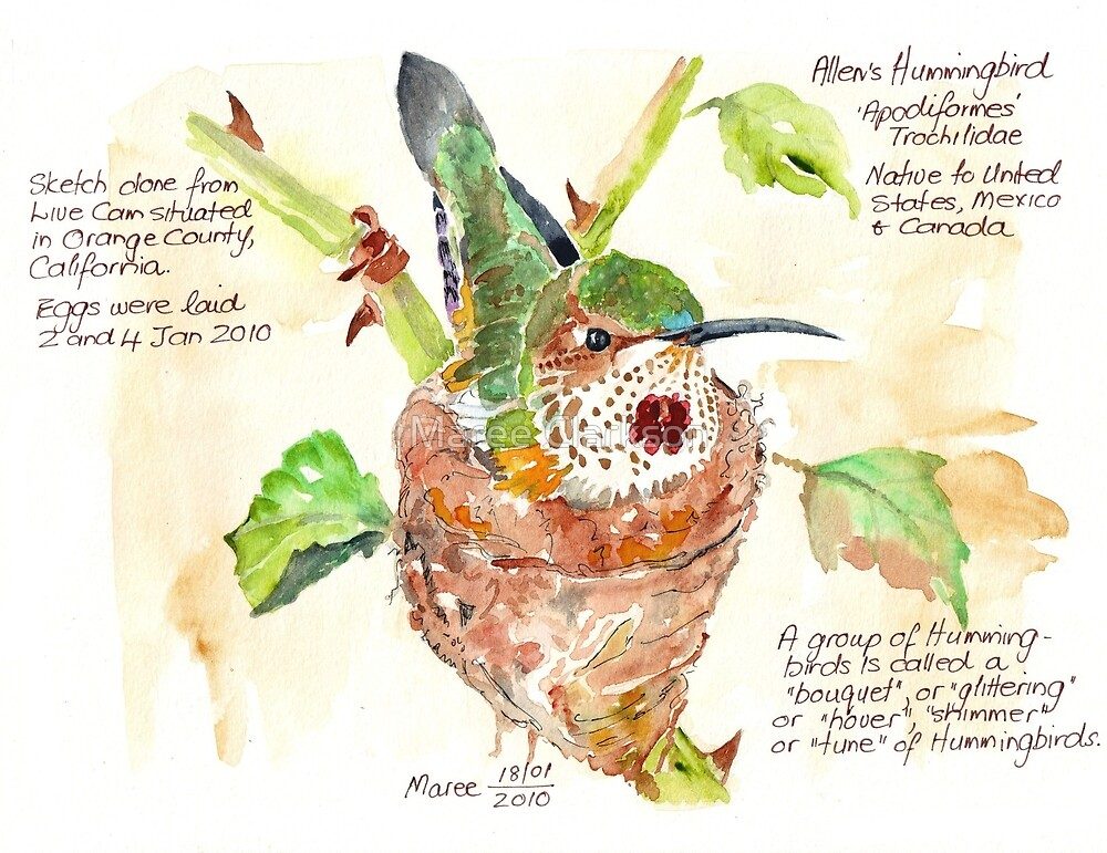 Phoebe, the Allen's Hummingbird - Botanical Illustration by Maree Clarkson