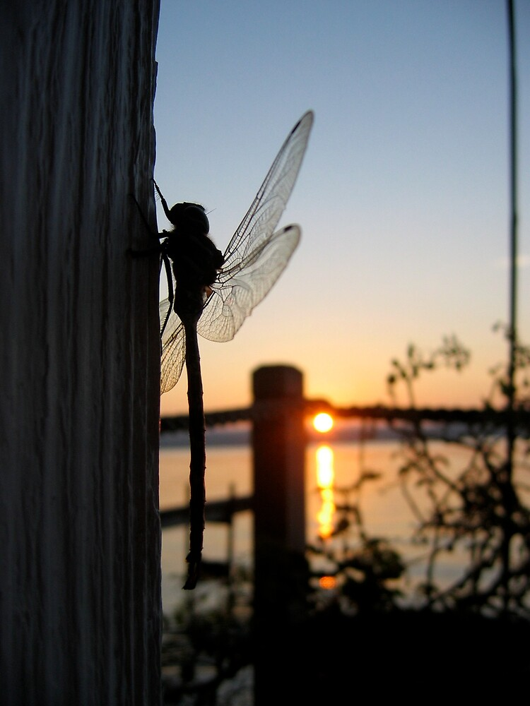 Sunset Dragonfly  by sunshinesuzy