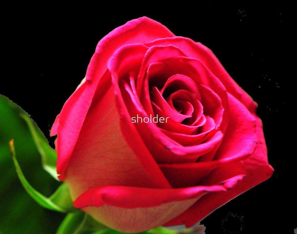 Trophy Rose by sholder