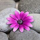 Zen Pink Daisy Pebble Still Life by artsandsoul