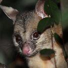 Possum by triciaoshea