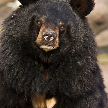 Asian Black Bear by domcia