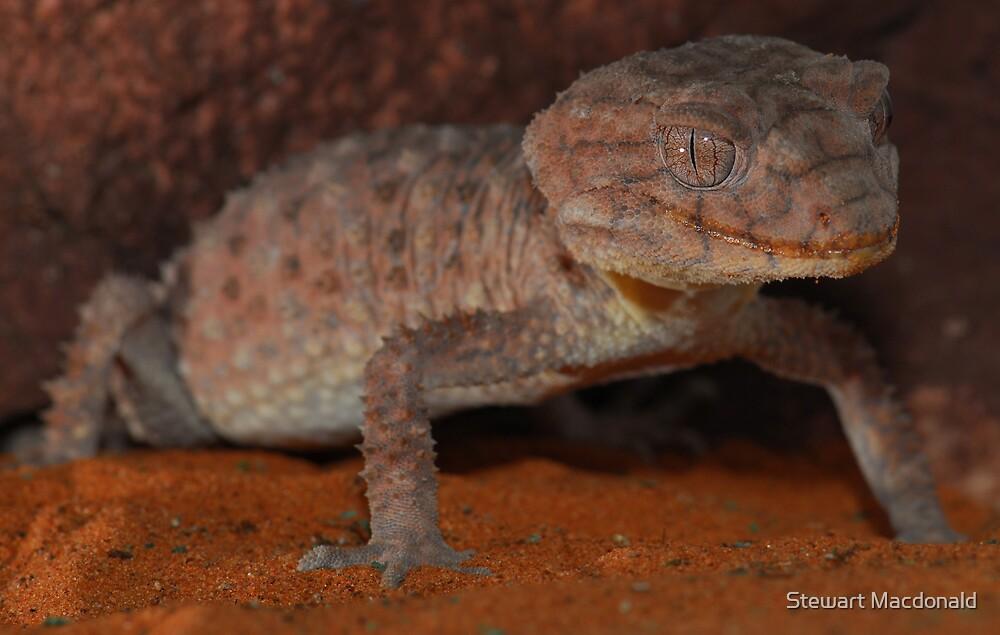 Centralian knob-tailed gecko by Stewart Macdonald