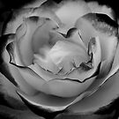 A Rose is a Rose (Black & White) by Karen Ashenberner