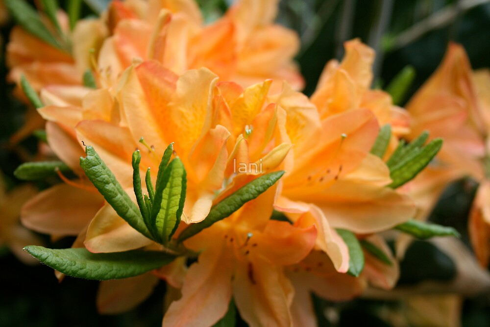 Simply Orange by Iani