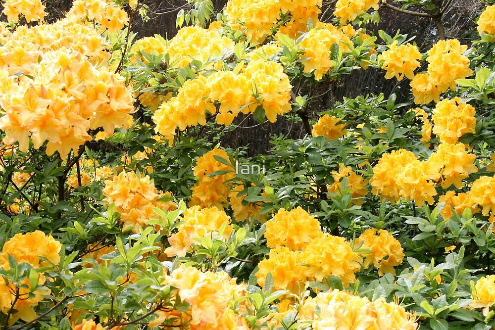 Cascade of yellow  by Iani