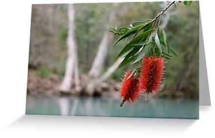 Bottlebrush, Stony Creek, Byfield NP.  by Margaret Stanton
