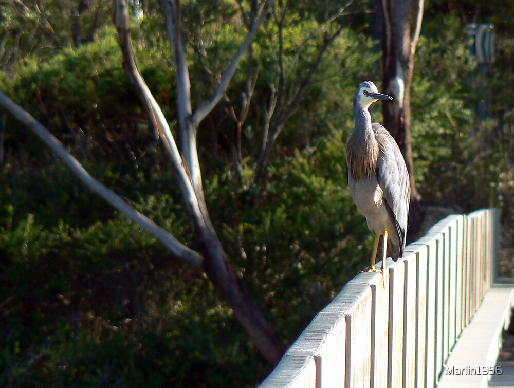 White Faced Heron by Marlin1956