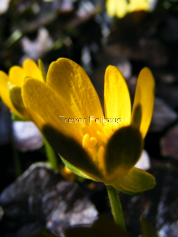 Shades of gold by Trevor Fellows