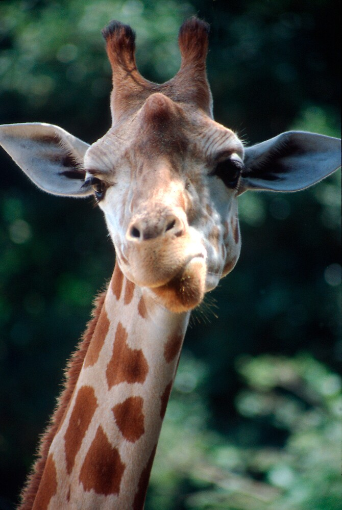 Giraffe Portrait while Eating by Peter Clements
