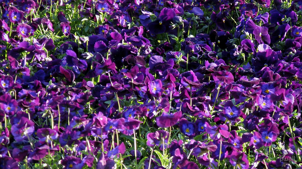 Purple Pansies by pwall