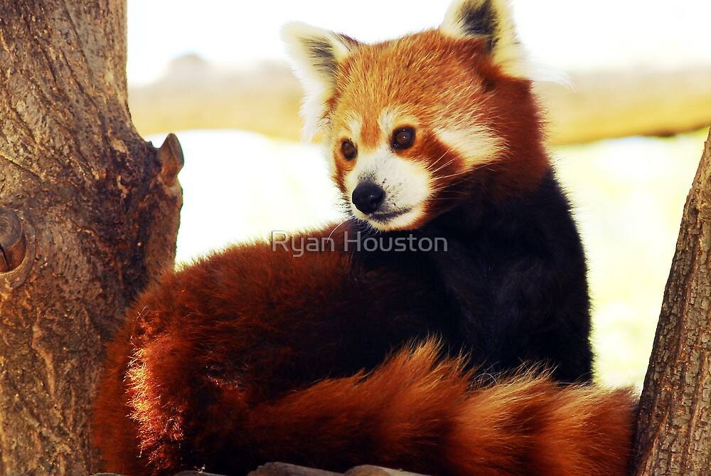 Red Panda by Ryan Houston