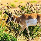 Pronghorn Antelope Jackson Hole by bengraham