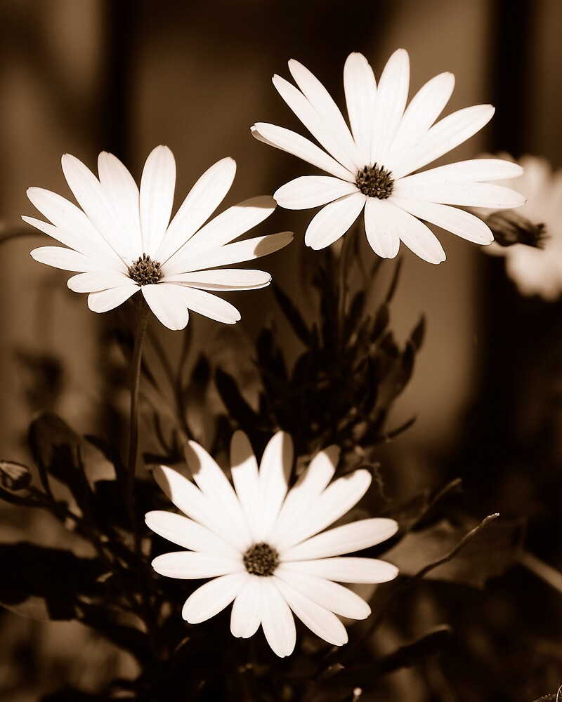 White Daisy Flowers in Sepia by Peter Clements