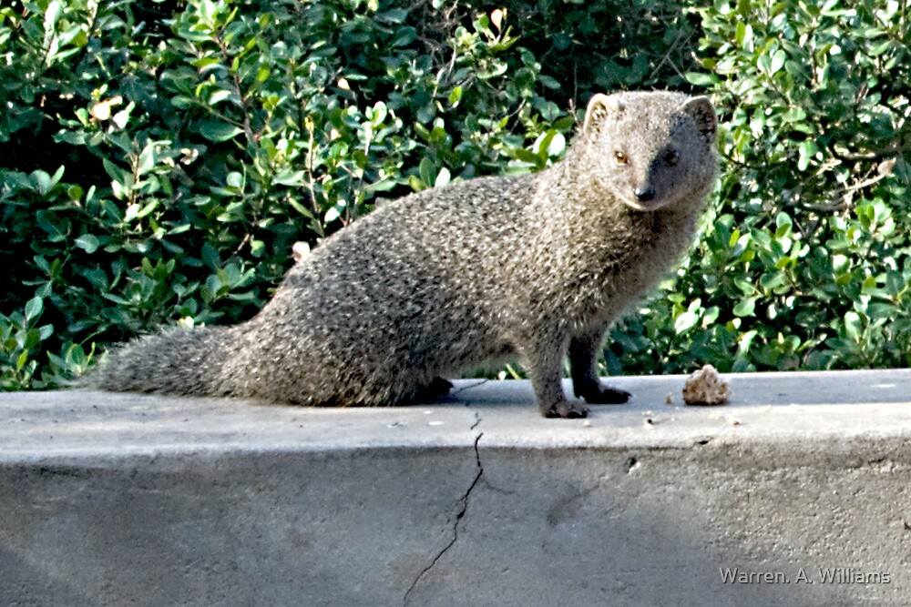 Mongoose 2 by Warren. A. Williams