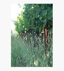 Vineyard Morning Photographic Print