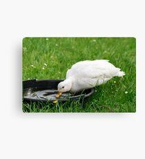 White Callduck / Call Duck - Drinking Water Canvas Print