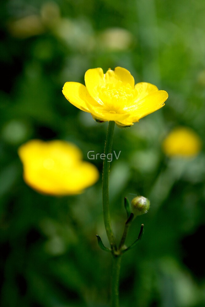 Buttercup by GregV