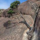 Bonsai on Mt Amos by Chris Allen