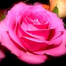 Rose by Melissa Contreras