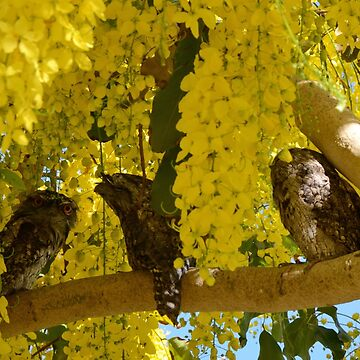 Tawny Frogmouth Owls by Woodgate