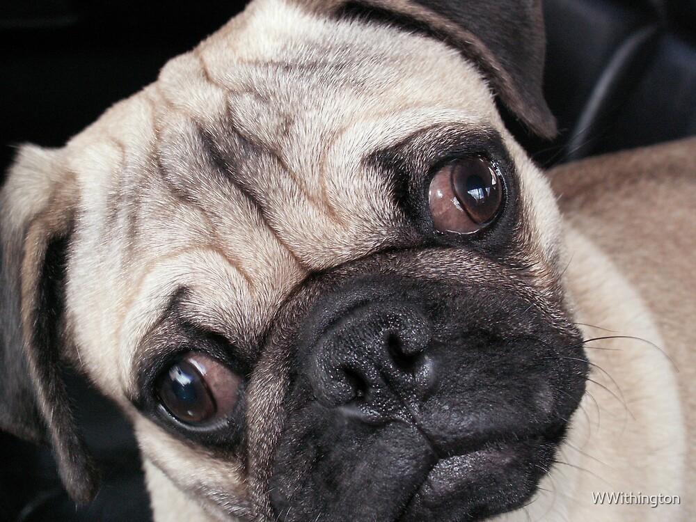 Playful Pug  by WWithington
