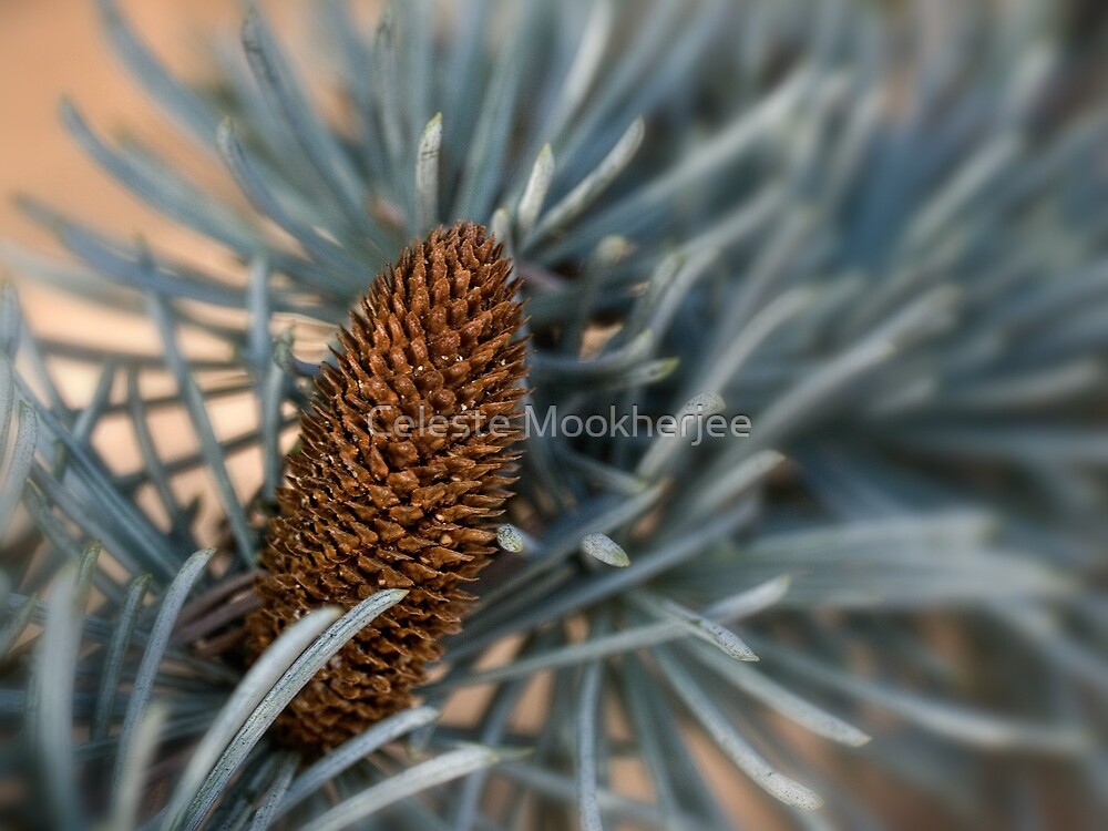 Blue atlas cedar by Celeste Mookherjee