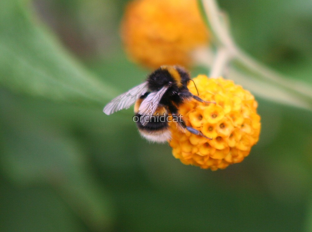 Bee on budlia by orchidcat