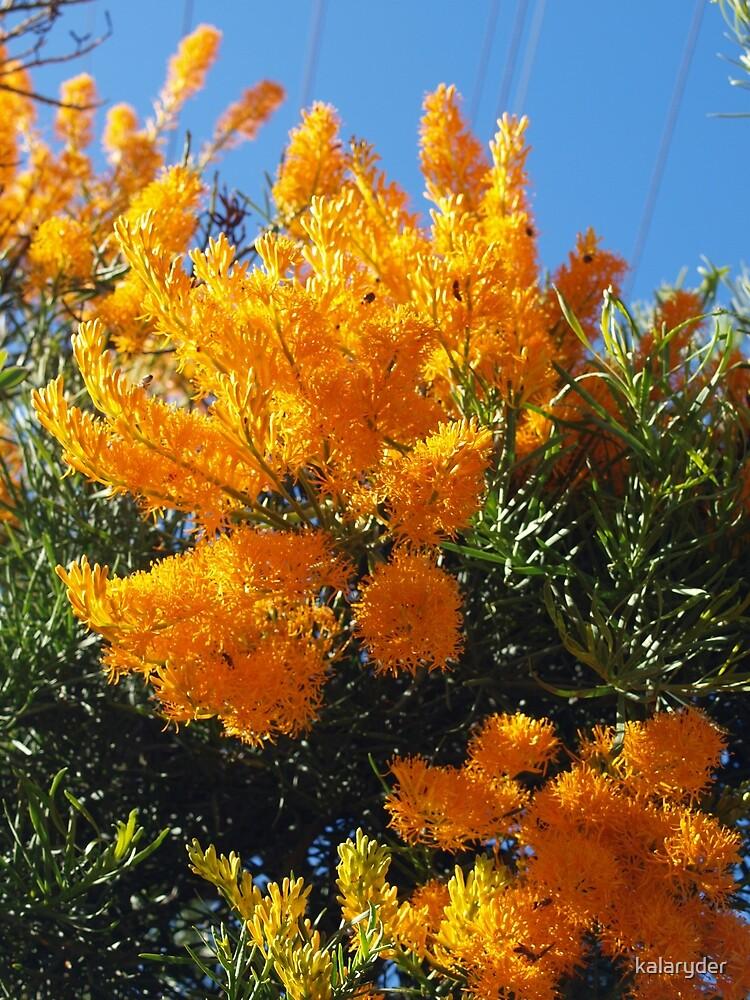 Nuytsia Orange by kalaryder
