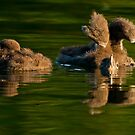 Loon Chick 7 by Loon-Images
