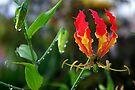 Fire-Flame Lily Kissed with Raindrops by Kerryn Madsen-Pietsch