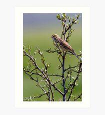 Savannah Sparrow Art Print