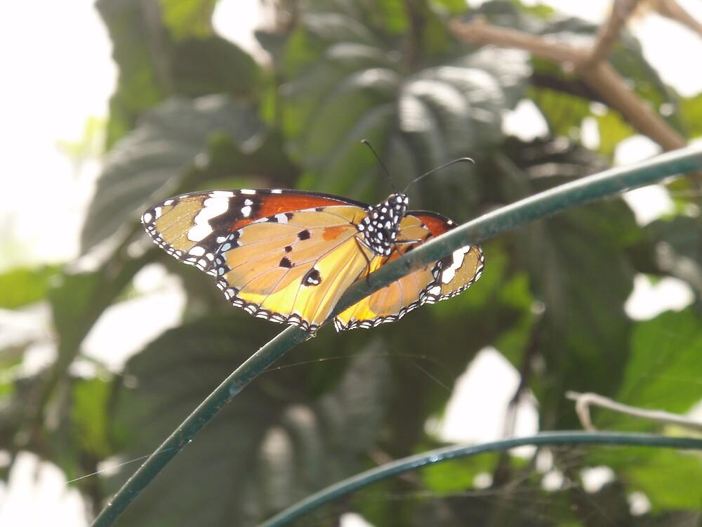 Butterfly by stinkymel