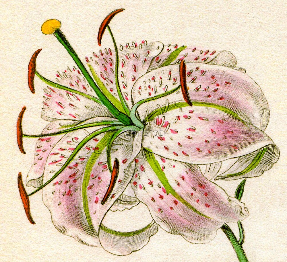 Detail of Lilium speciosum punctatum or Spotted-flowered Lily by chrisrob
