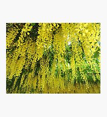 Laburnum: Golden Shower Tree Photographic Print