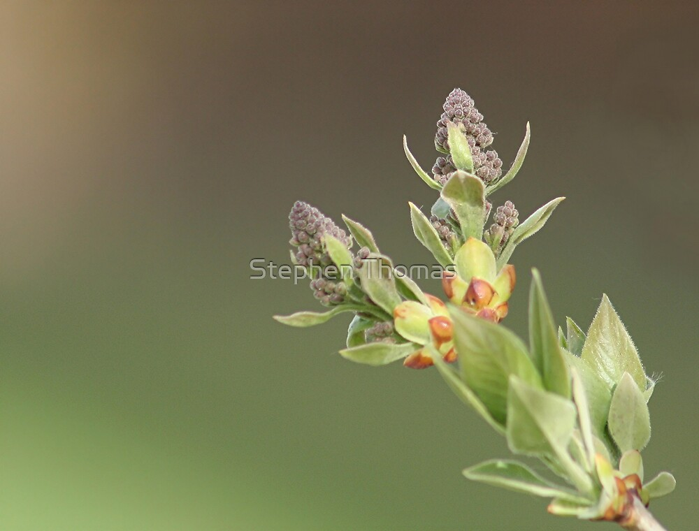Lilac buds by Stephen Thomas